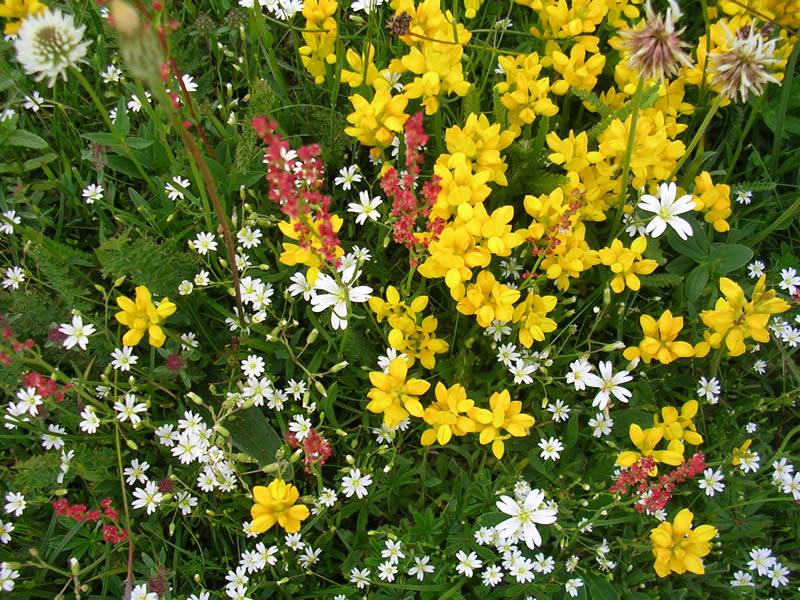 Castelluccio flowers